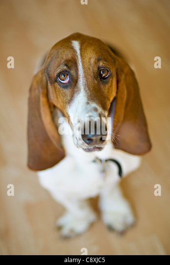 USA, Illinois, Washington, Portrait of Bassett Hound - Stock Image