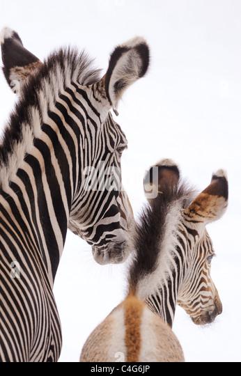 Grevy's zebra and cub - portrait / Equus grevyi - Stock Image