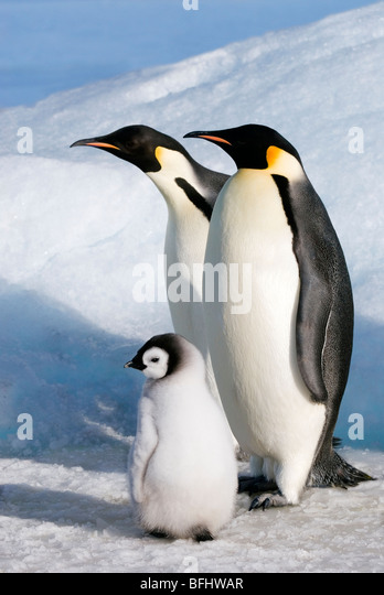 Emperor penguin (Aptenoytes forsteri) chick and adults, Snow Hill Island, Weddell Sea, Antarctica - Stock Image