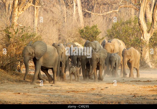 Herd of African Elephants on the move, Mana Pools, Zimbabwe - Stock Image