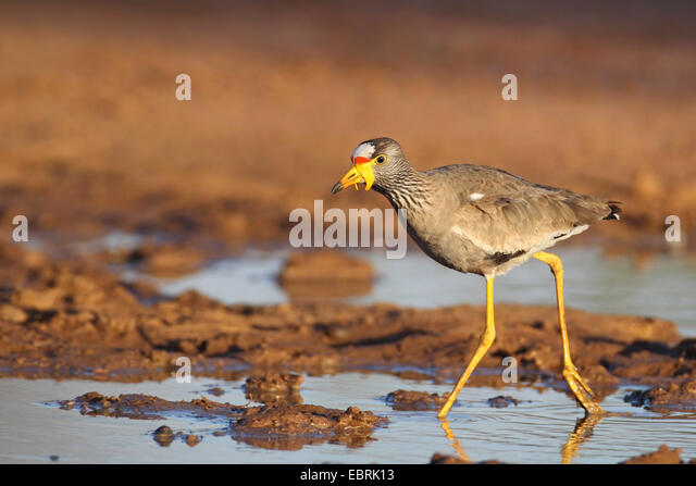 Senegal wattled plover (Vanellus senegallus), walks in shallow water, South Africa, North West Province, Pilanesberg - Stock Image