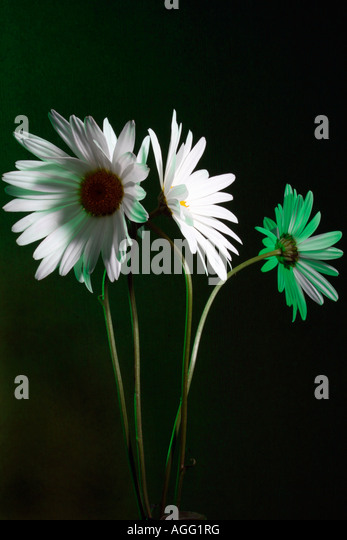 White Marguerite's - Stock Image