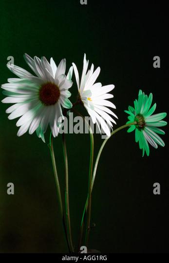 White Marguerite's - Stock Image
