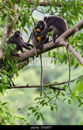 A Dusky leaf monkey (Trachypithecus obscurus) family squabble over who looks after baby in the rainforest canopy - Stock Image