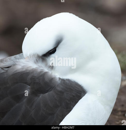 Close Up Black-browed Albatross (Thalassarche melanophris) - Stock Image
