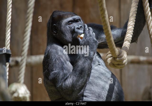Anthropoid hanging around and eating apple - Stock-Bilder