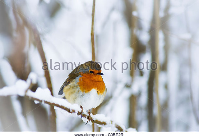 Red Robin on branch in winter. - Stock Image