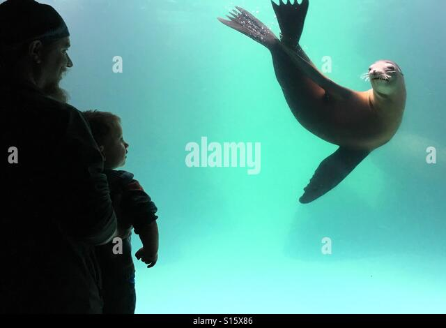 Young boy and father watching a sea lion at the aquarium - Stock-Bilder