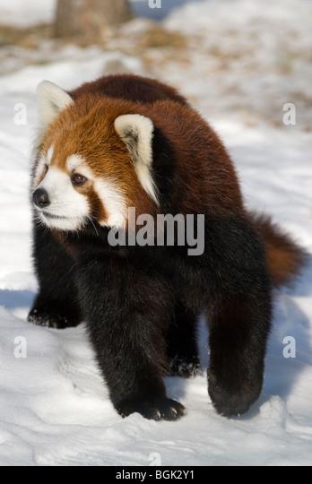Red Panda in winter - Stock Image