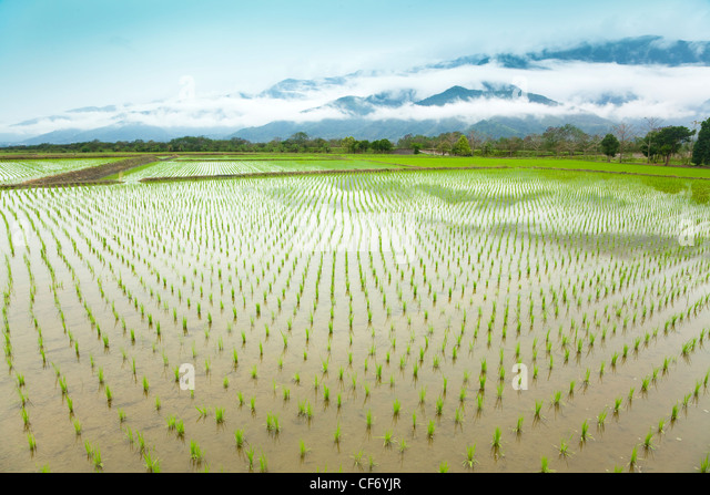 Green rice field in asia at spring time - Stock Image