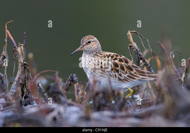 Pectoral Sandpiper foraging among pond vegetation during Spring migration, Copper River Delta, near Cordova, Alaska, - Stock Image