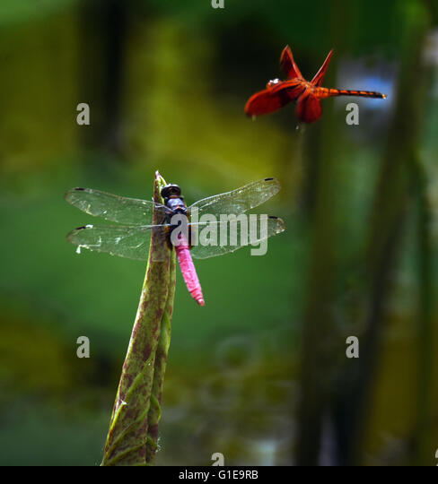 Taipei's Taiwan. 13th May, 2016. Dragonflies are seen near lotus leaf at a lotus pool in Taipei's Palace - Stock Image