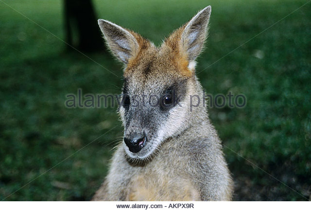 Red kangaroo - Stock Image