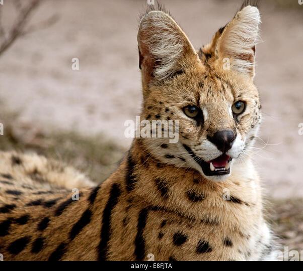 African wild cat, Mpumalanga, South Africa - Stock-Bilder