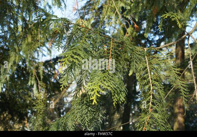 Chamaecyparis obtusa, Japanese Cypress - Stock Image