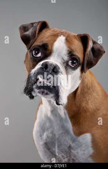 Portrait of brown and white boxer dog facing to camera in studio - Stock Image