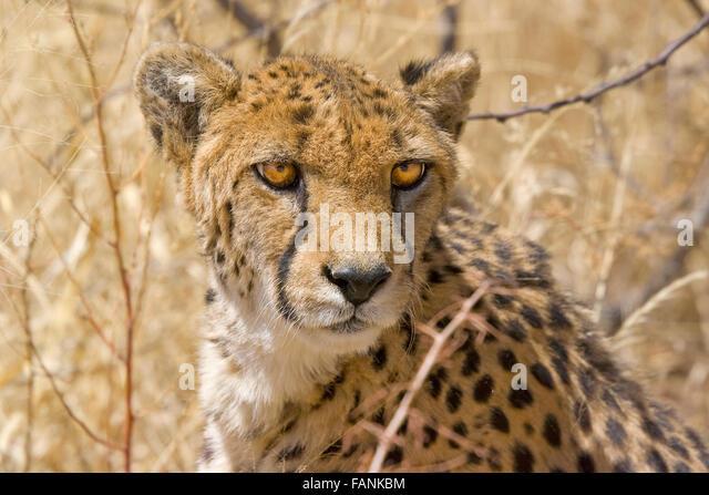 Cheetah looking direct at camera, big eyes, surrounded by bush - Stock Image