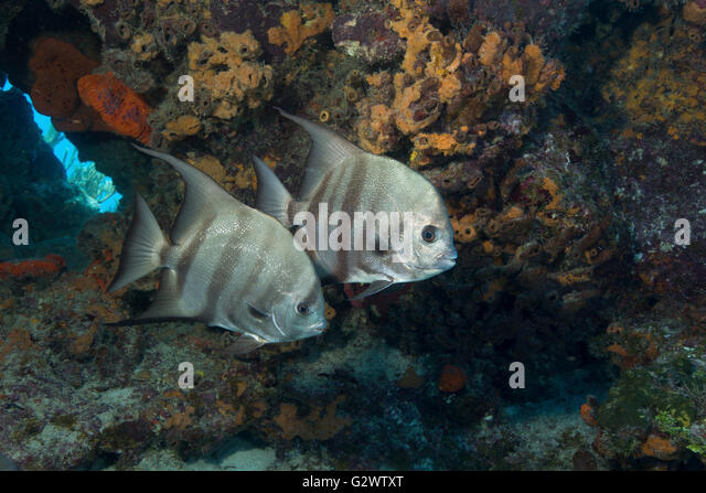 A pair of Atlantic spadefish hug the protective walls of a coral ledge. - Stock-Bilder