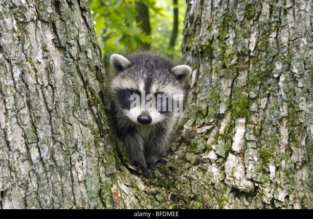 Raccoon baby - Stock Image