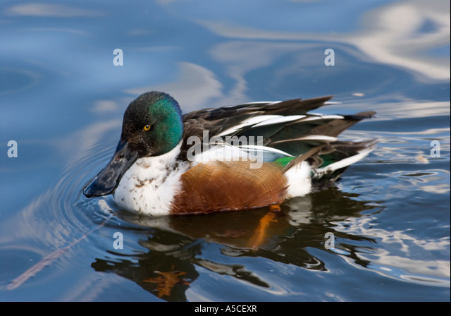 Male Northern Shoveler Duck - Stock Image