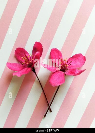 Crabapple blossoms on pink and white stripes. - Stock Image