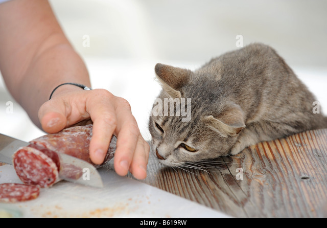 Young grey tabby cat looking on greedily as salami is sliced - Stock Image