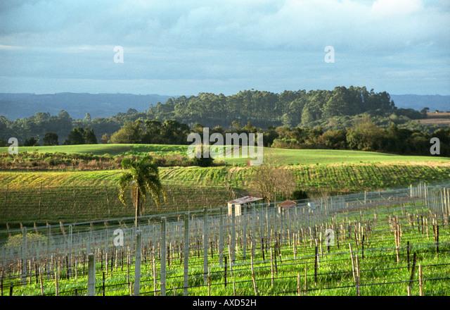 The vineyards of Boscato Industria Vinicola in Nova Padua, Serra Gaucha,Brazil - Stock Image