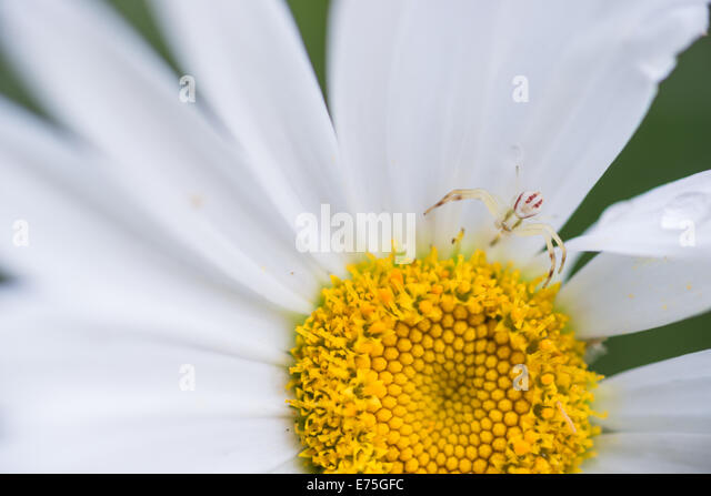 white-banded-crab-spider-misumenoides-fo
