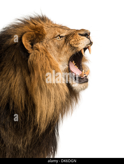 Lion Roaring White Background | www.imgkid.com - The Image ...