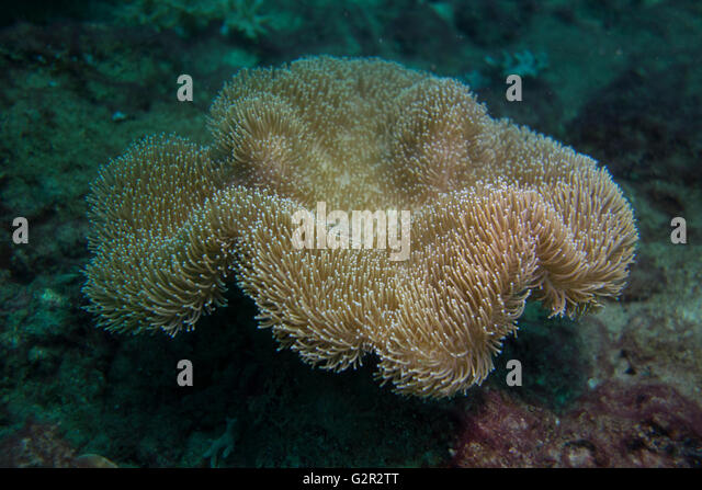 Leather coral, Sarcophyton sp., from the Coral Triangle, Brunei Darussalam, South China Sea. - Stock Image