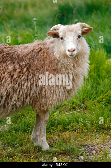 Aug 2008 - Sheep at Eriks the red first settelment Brattahlid known today as Qassiarsuk South Greenland - Stock Image