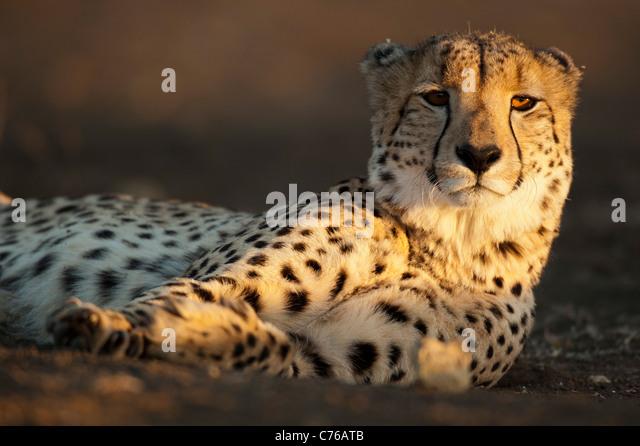 Cheetah (Acinonyx jubatus), Phinda Game Reserve, South Africa - Stock-Bilder