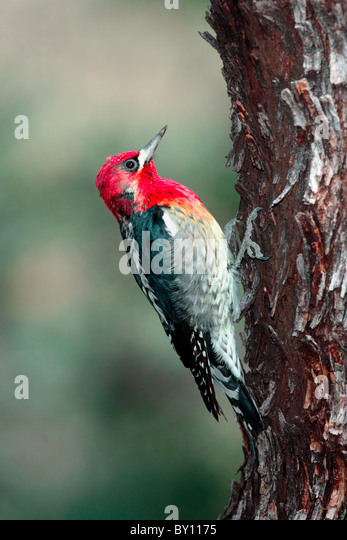 Red-breasted Sapsucker - Stock Image