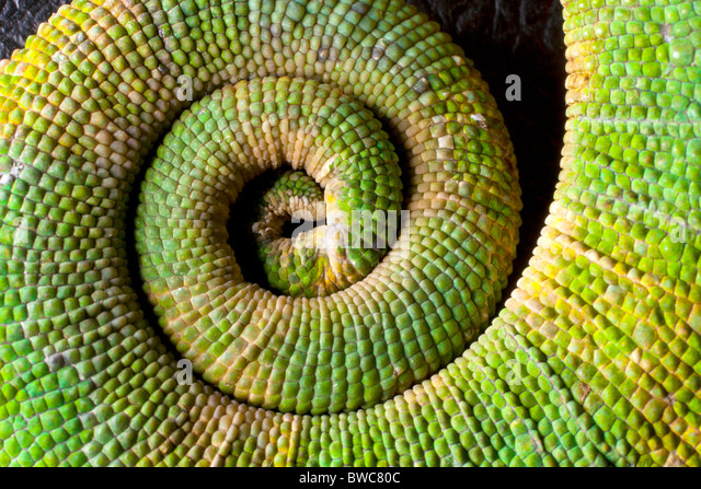 Coiled tail of a Meller's chameleon - Stock Image
