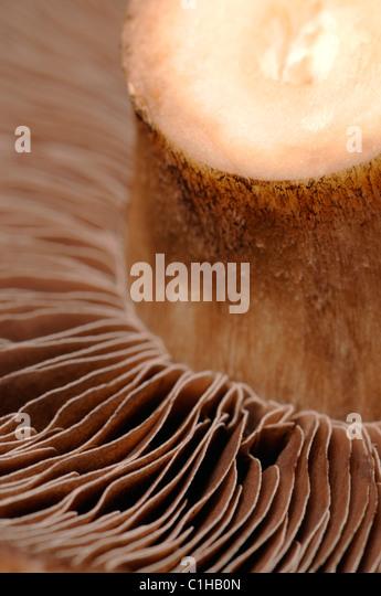 Large field mushroom - underside showing spores - Stock Image