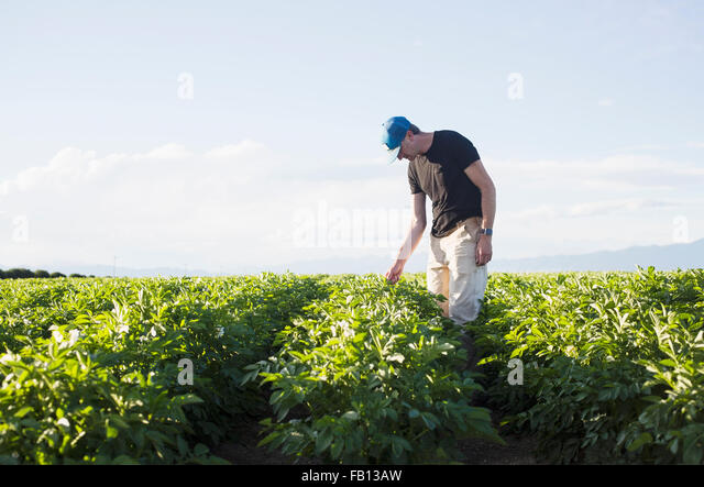 Mature man looking at plants in field - Stock Image