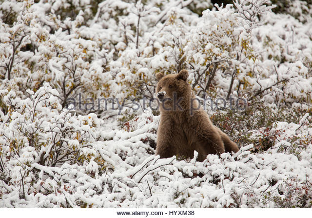 A grizzly bear mother on Polychrome Pass in Denali National Park - Stock Image