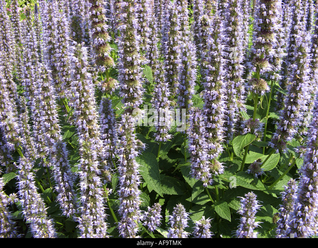 giant hyssop blue fortune - photo #8