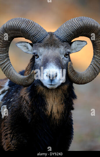 Mufflon ram mountain sheep Ovis ammon musimon winter coat sheep wild sheep goat-antelopes horn horns Mufflons animal - Stock Image