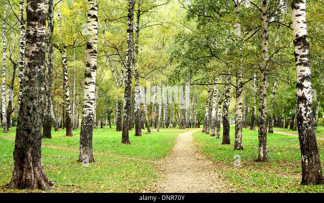 Morning autumn birch grove in the end of September - Stock Image