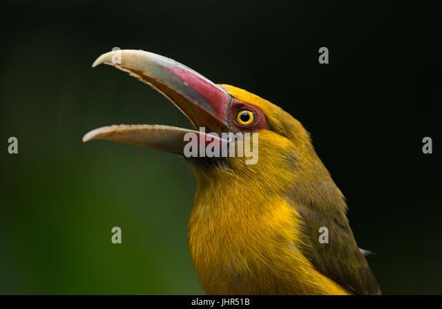 Saffron Aracari from the Atlantic Rainforest - Stock Image