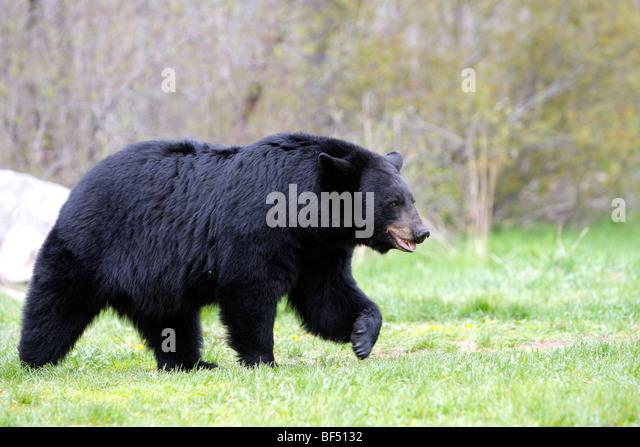 American Black Bear (Ursus americanus). Adult male walking over a clearing. - Stock-Bilder