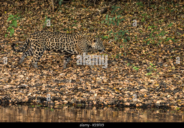 A Jaguar from North Pantanal, Brazil, camouflages almost perfectly with the dried leaves on the ground - Stock Image