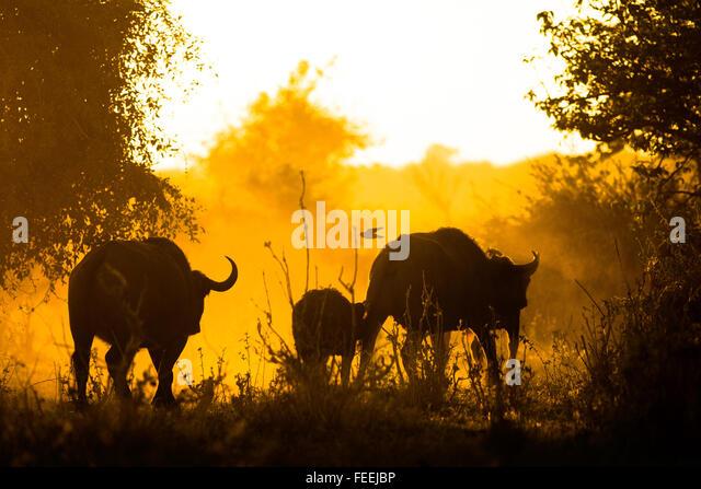 Buffalo in the bushveld - Stock Image