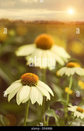 Summer flowers in field - Stock Image