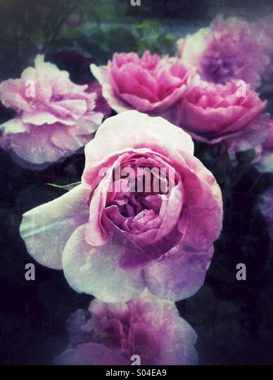 Pink rose flowers with grunge texture - Stock Image