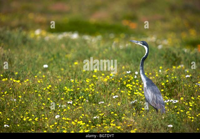 Black-headed Heron, (Ardea melanocephala) amongst wildflowers, West Coast National Park, Western Cape , South Africa - Stock-Bilder