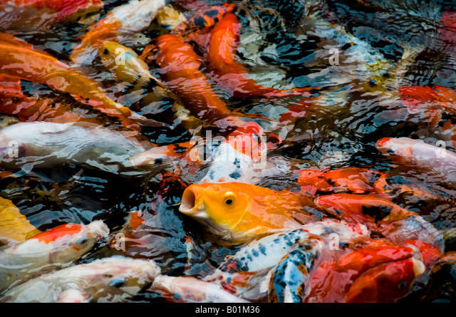 Goldfish variety stock photos goldfish variety stock for Feeding koi fish