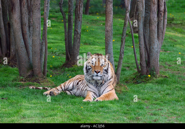 Siberian tiger lying on grass in the forest - Stock Image