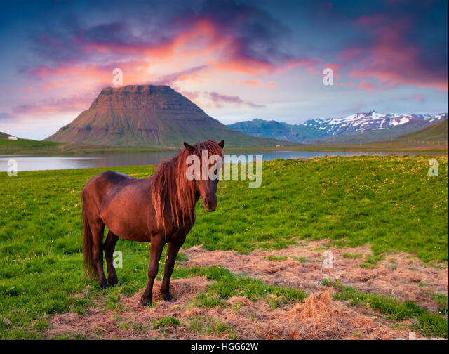 Summer evening scene with horses on pasture. Colorful sunset near the Grundarfjordur town, Snaefellsnes peninsula, - Stock Image